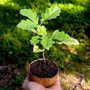 sázení dubu